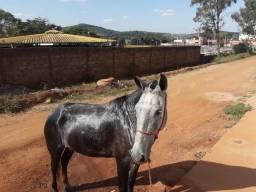 Égua tordilha negra
