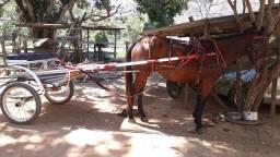 Vendo Cavalo meio sangue Argentino