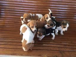 Filhotes raça beagle