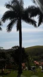 Palmeira Imperial Adulta 15 metros (9 unidades)