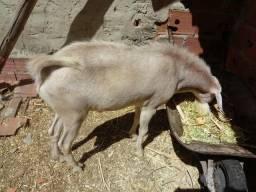 2 cabras e 2 cabritinhas e um bode