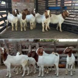 Cabras e Cabritos (mestiços de Boer)