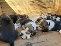Filhotes de Beagles entrega Gratuita dia 06/12 em Balneário Camboriú