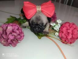 Pug mini fêmea
