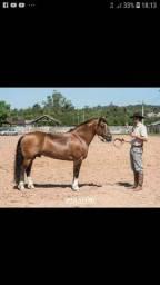 Cavalo crioulo        MAC Pagé