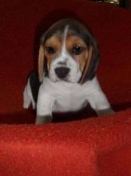 Beagle com pedigree, vacinados e vermifugados a pronta entrega