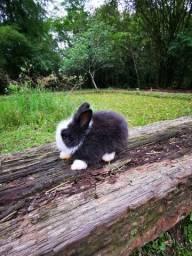 Filhotes de coelho Teddy Dwerg