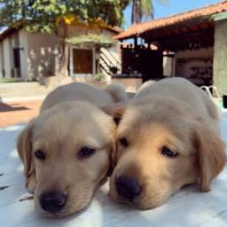 Filhote de Golden+Labrador
