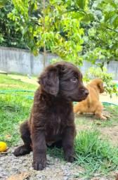 Filhote de Labrador Chocolate Fêmea