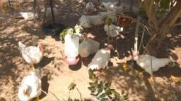 Vendo galinhas..sítio fica em pium