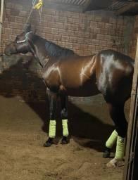 Cavalo QMcom PSI 5 anos