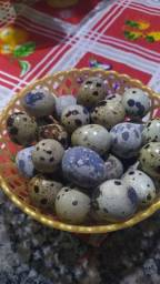 Ovos de codorna gigante