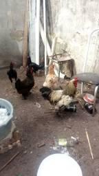 Vendo tres  galinha da raca brahma 250