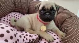Lindos filhotes Pug porte pequeno com pedigree e garantia de saúde