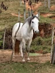 Cavalo tordilho manso