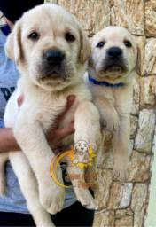 Belíssimos Filhotes de Labradores
