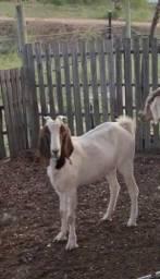 Duas cabras