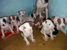 Filhotes de Pitbull Red Nose puros!