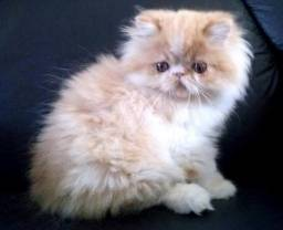 Gato Persa (fêmea filhote 50 dias)