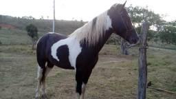 Cavalo homozigoto