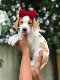Faça contato - garantias em filhotes fêmeas de beagle 13 polegadas