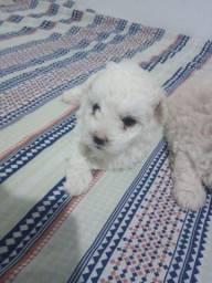 Poodle Macho disponível pra venda