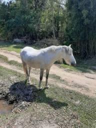 Égua tordilha  muito mansa ..   Está prenha de um cavalo pampa