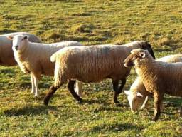 Vende-se ovelhas e cordeiros