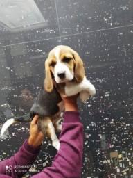 Filhotes de beagle a pronta entrega