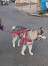 Procuro Husky fêmea pra cruzar !!