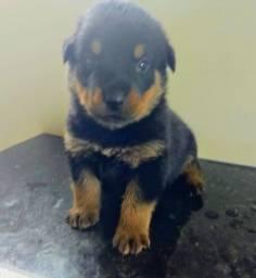 Rottweiler Disponível  $500