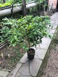 Muda de árvore de jabuticaba