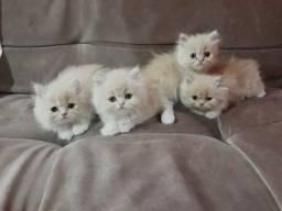 Gato Persa temos filhotes a Pronta Entrega-PARCELO