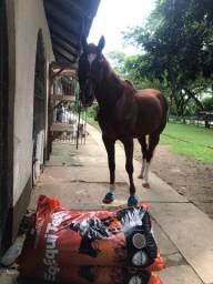 Garanhão de equitação