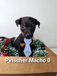 Pincher miniatura