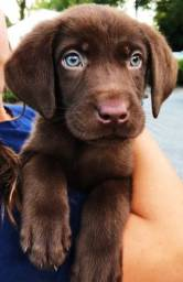 Filhotes de Labrador macho e fêmea disponíveis com garantia