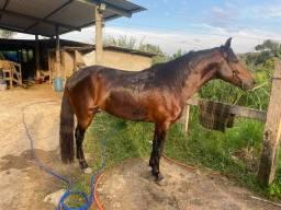 Cavalo Mangalarga marchador a venda