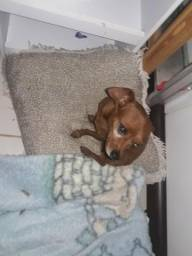 Vende se cachorrinho pinscher