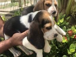 Beagle 13 polegadas com pedigree