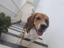 Beagle atrás de uma namorada
