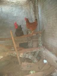 Casal jovem galo e galinha