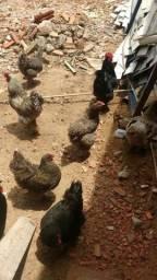 Lote galinha brama