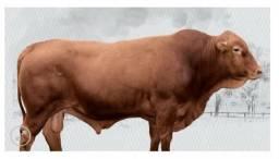 Sêmen de 39 reprodutores Senepol Importado Produza com qualidade, use o Senepol e lucre!