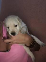 Filhote de labrador (r$500/r$ 600)