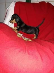 Basset minizinhas pequeninas femêas