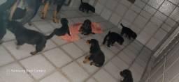 Filhotes de cachorro Rottweiler