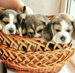 13 Polegadas> Beagle Filhote com Pedigree ++ Garantia de Saúde