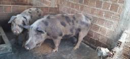 Vende-se porcos de raça