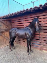 Cavalo mangalarga marchador garanhão