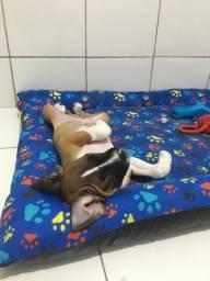 Filhote de boxer com 3 meses